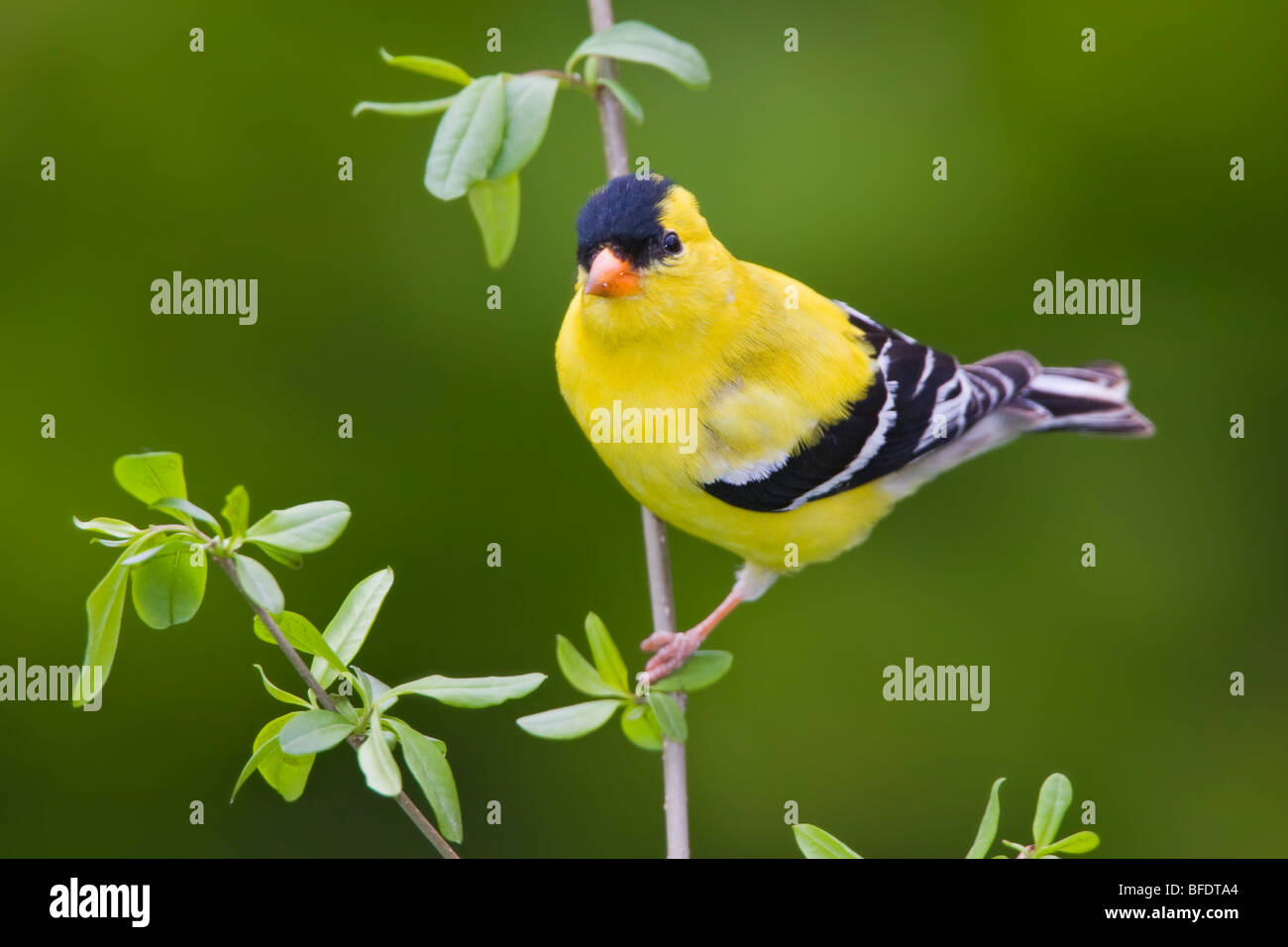 American goldfinch (Carduelis tristis) perched on a branch near Toronto, Ontario, Canada - Stock Image