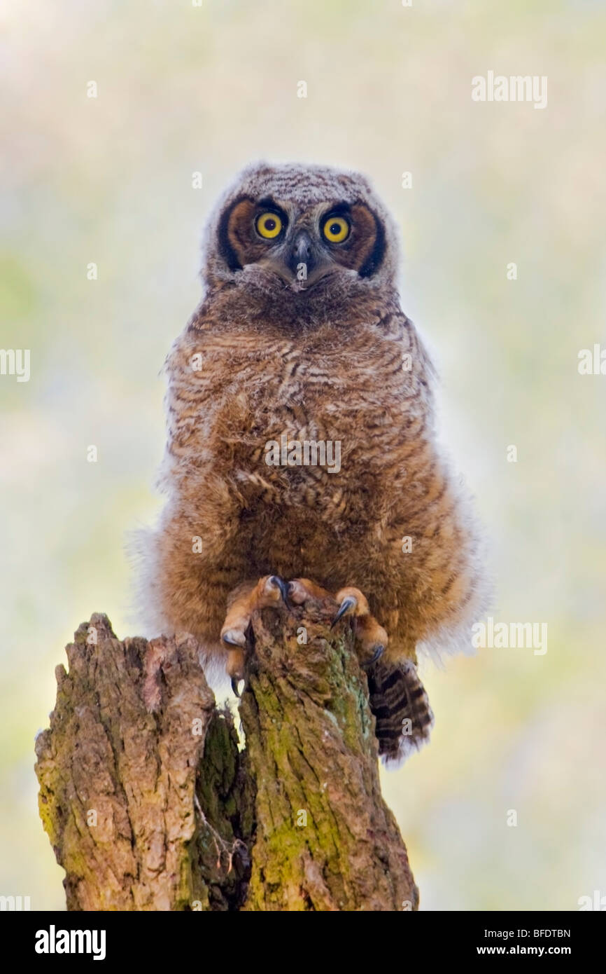 Great Horned Owl (Bubo virginianus) perched on a dead tree in Victoria, Vancouver Island, British Columbia, Canada - Stock Image