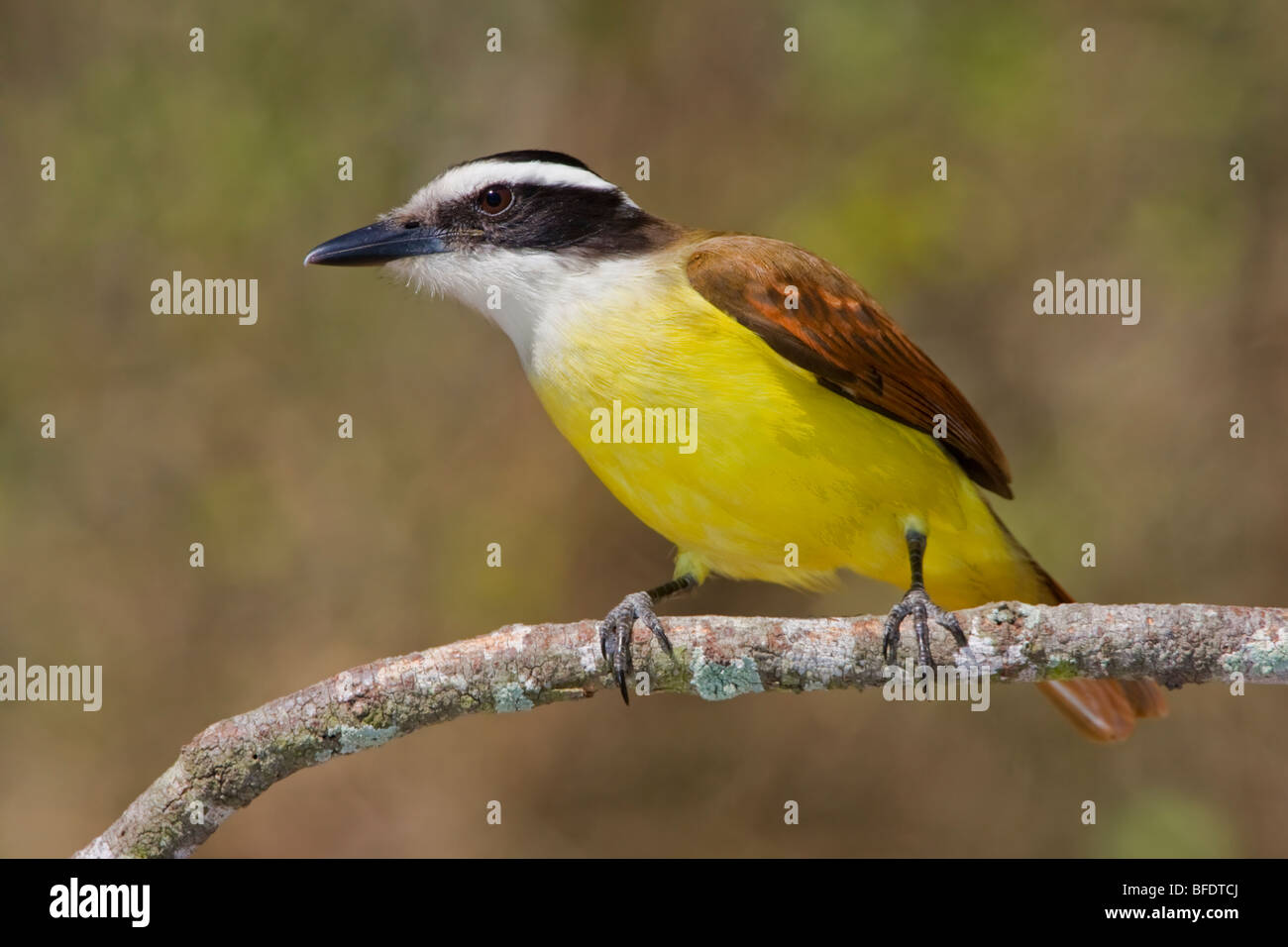 Great Kiskadee (Pitangus sulphuratus) perched on a branch in the Rio Grande Valley of Texas, USA - Stock Image