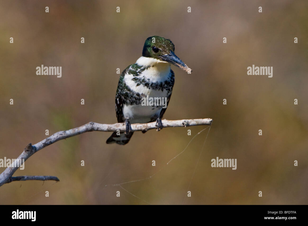 Green Kingfisher (Chloroceryle americana) perched on a branch at Estero Llano Grande State Park in Texas, USA - Stock Image