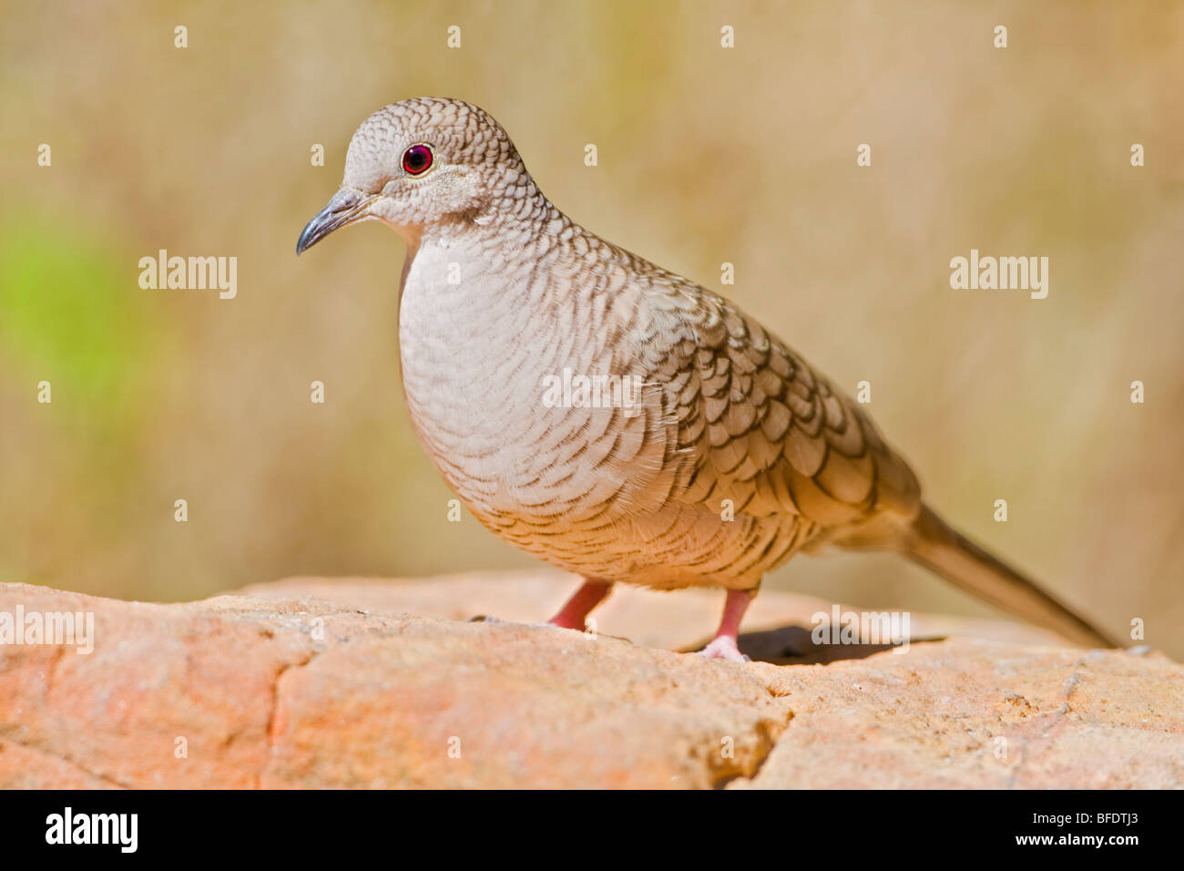 Inca Dove (Scardafella inca) perched on a red rock in the Rio Grande Valley of Texas, USA - Stock Image