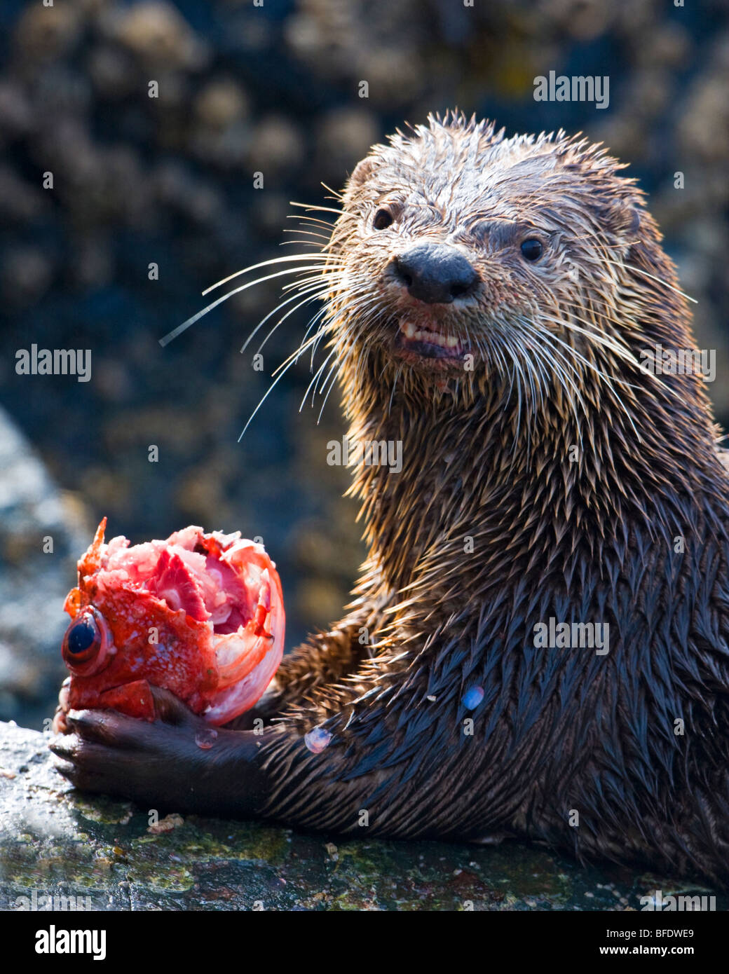 River otter (Lontra canadensis) eating a fish in Victoria, Vancouver Island, British Columbia, Canada - Stock Image