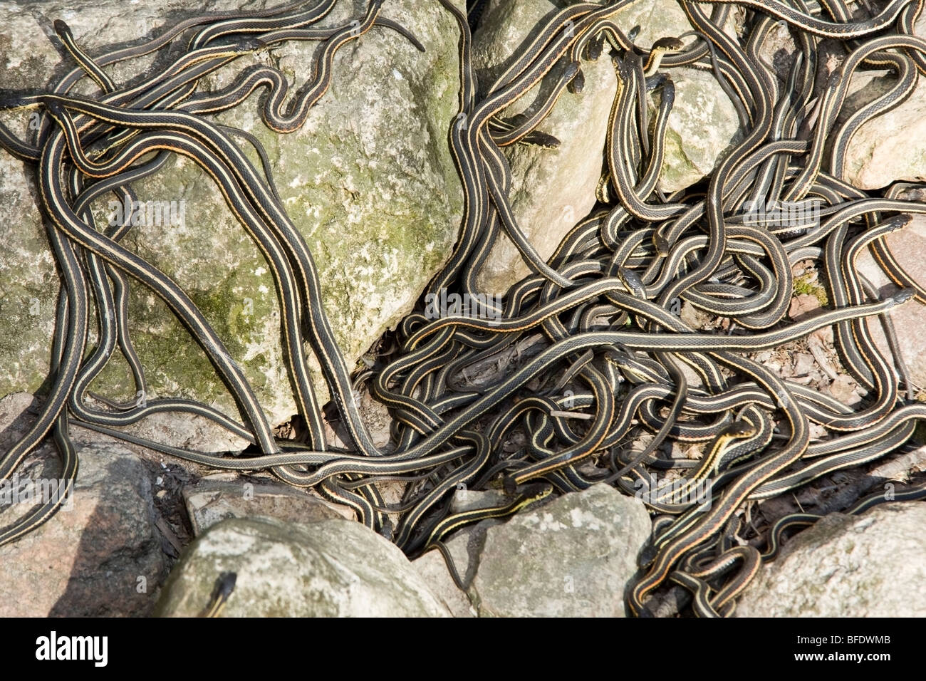 Large group of Red-sided garter snake (Thamnophis)  at Narcisse Snake Dens in Winnipeg, Manitoba, Canada - Stock Image