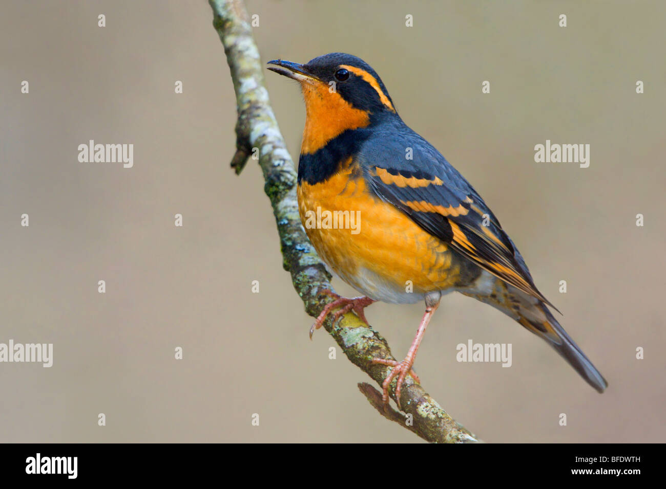 Varied Thrush (Ixoreus naevius) perched on a branch in Victoria, Vancouver Island, British Columbia, Canada - Stock Image