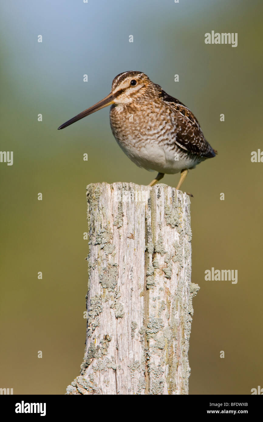 Wilson's Snipe (Gallinago delicata) perched on a fence post at the Carden Alvar in Ontario, Canada - Stock Image