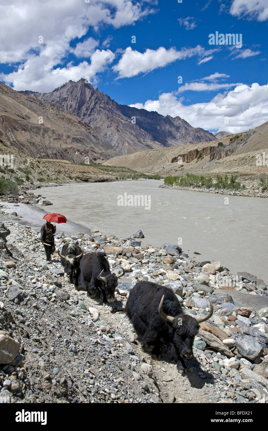 Shepherd and yaks. Zanskar river. Near Pishu. Padum-Lamayuru trek. India - Stock Image