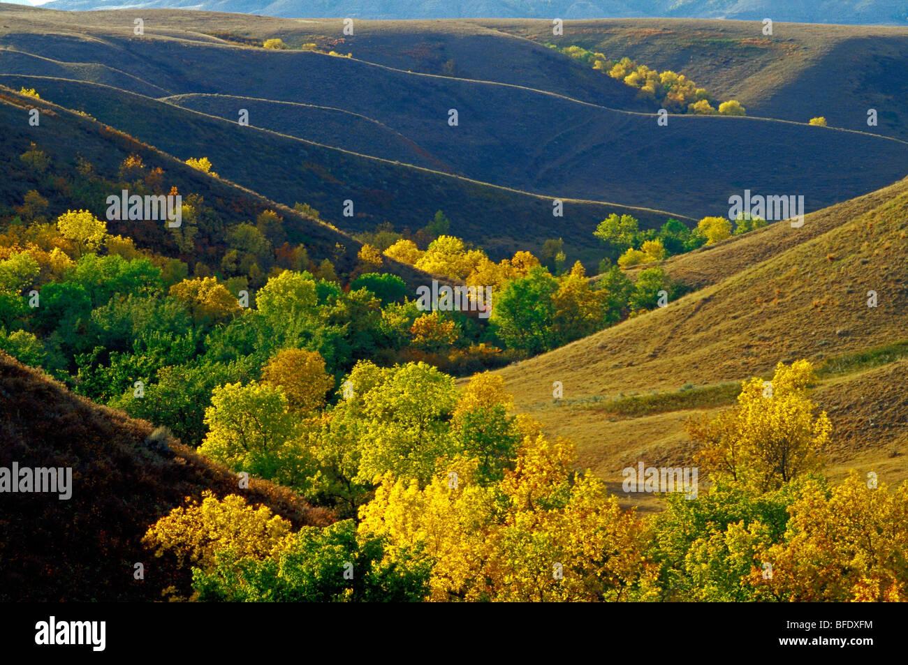 Aspen (Populus) bluffs in autumn colors, Big Muddy Badlands, Saskatchewan, Canada - Stock Image