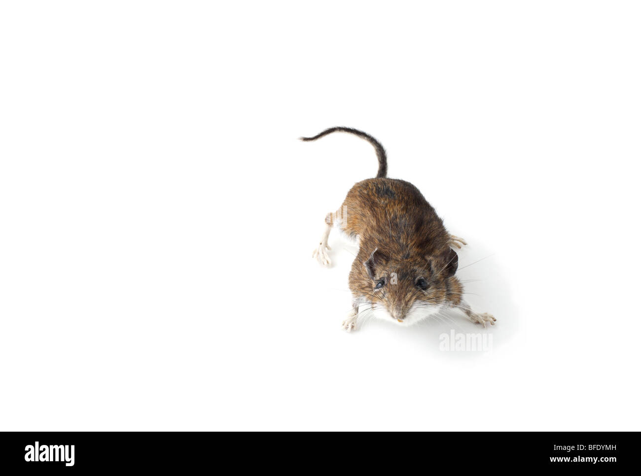 Studio shot of a Field Mouse on white - Stock Image