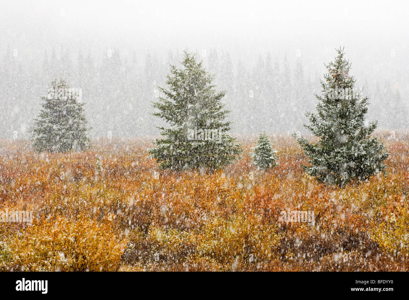 Snowfall on meadow in autumn colors, Banff National Park, Alberta, Canada - Stock Image