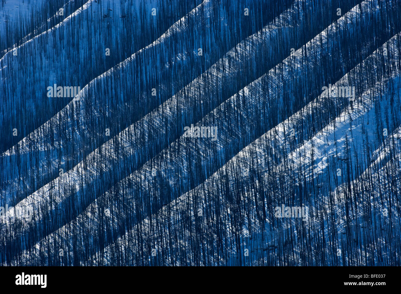 Burnt trees on snowy mountain slope, Verendrye, Kootenay National Park, British Columbia, Canada - Stock Image