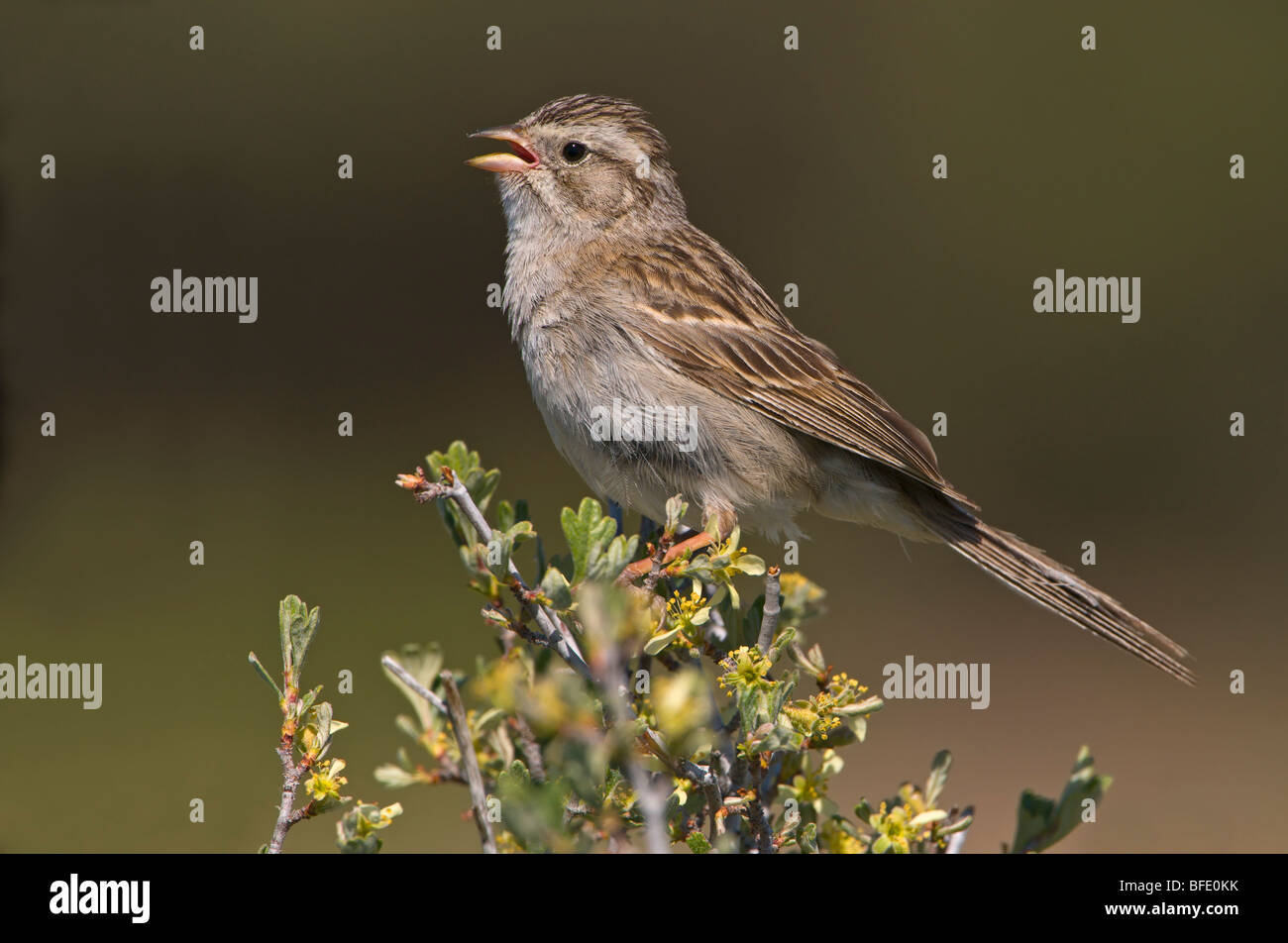 Brewer's sparrow (Spizella breweri) singing and perched on sage brush at Fort Rock State Park, Oregon, USA Stock Photo