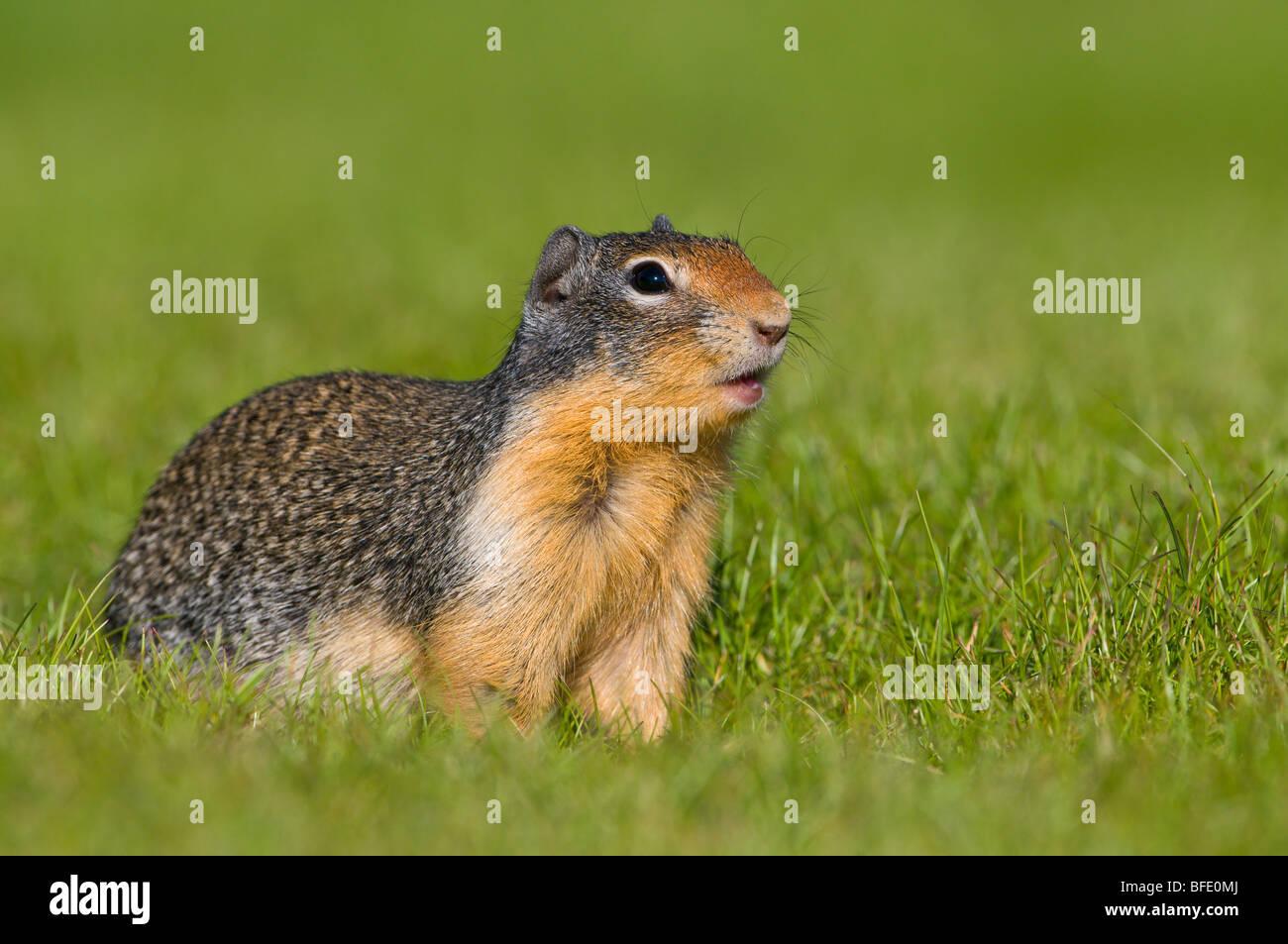 Columbia ground squirrel (Spermophilus columbianus), Manning Provincial Park, British Columbia, Canada Stock Photo