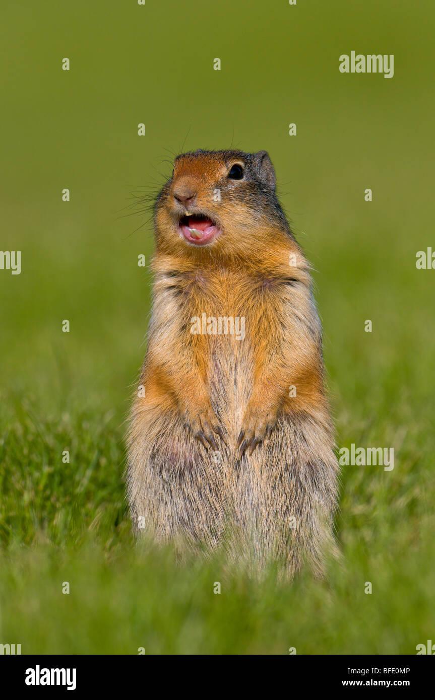 Columbia ground squirrel (Spermophilus columbianus), Manning Provincial Park, British Columbia, Canada - Stock Image