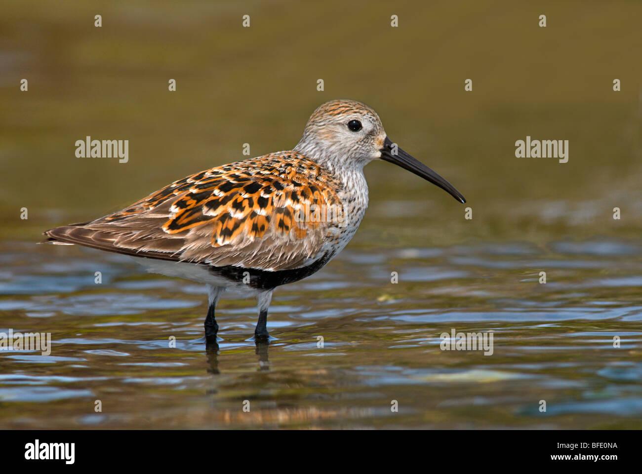 Breeding plumage on Dunlin (Calidris alpina), Oak Bay, Victoria, Vancouver Island, British Columbia, Canada - Stock Image