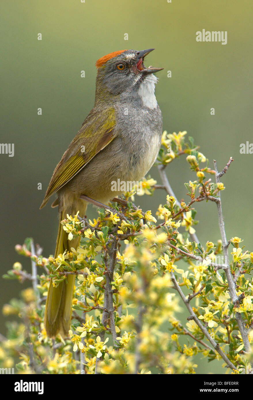 Green-tailed towhee (Pipilo chlorurus) singing while perched on branch in Deschutes National Forest, Oregon, USA Stock Photo