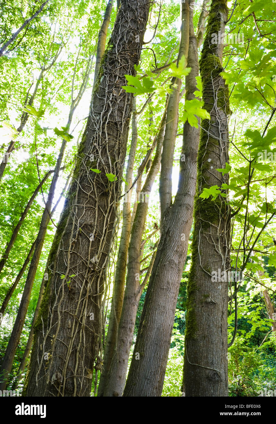Conservation efforts cut invasive ivy killing it on the trees. West Seattle, Washington, USA. - Stock Image