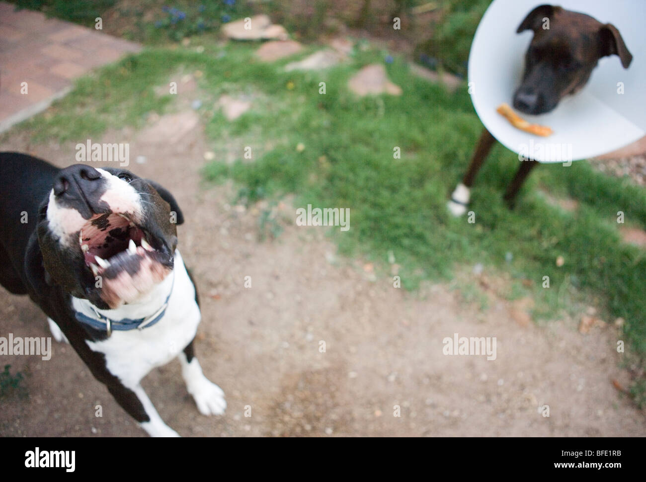 dog barking because she is jealous of her friend's bone which sits on her cone outdoors - Stock Image