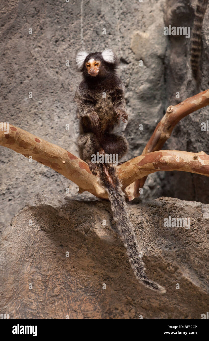 Common Marmoset. Callithrix jacchus, South America - Stock Image