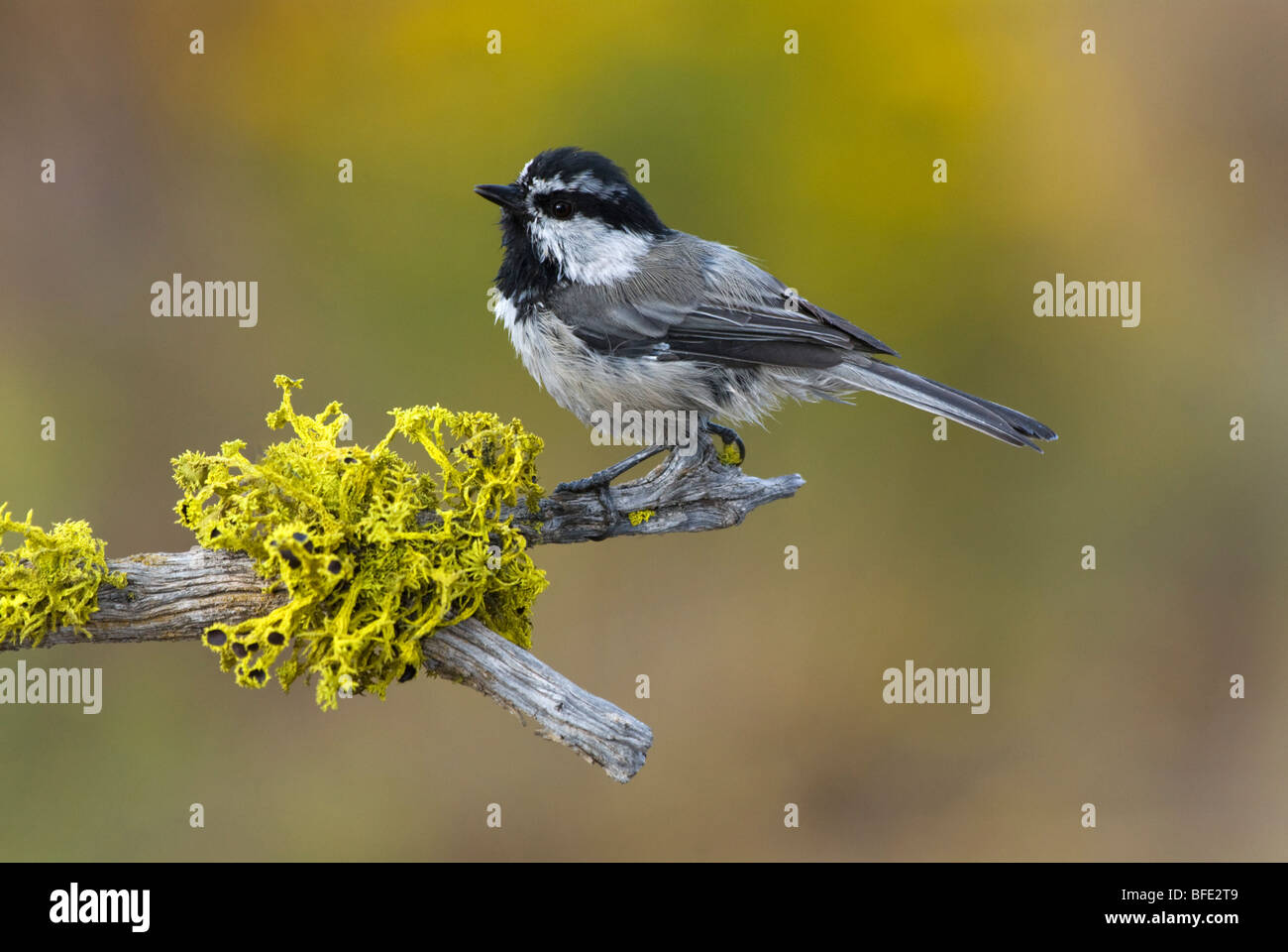 Mountain chickadee (Poecile gambeli) on perch in Deschutes National Forest, Oregon, USA - Stock Image