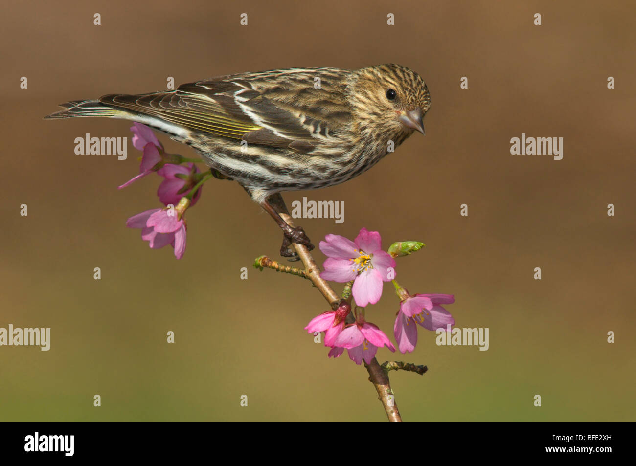 Pine siskin (Carduelis pinus) perched on flowering plum branch in Victoria, Vancouver Island, British Columbia, - Stock Image