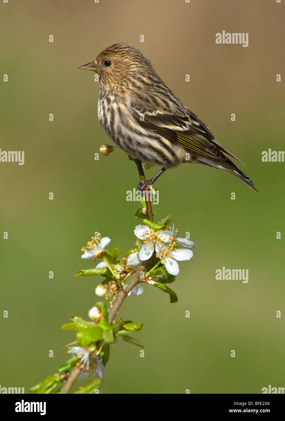 Pine siskin (Carduelis pinus) perched on flowering apple branch in Victoria, Vancouver Island, British Columbia, - Stock Image