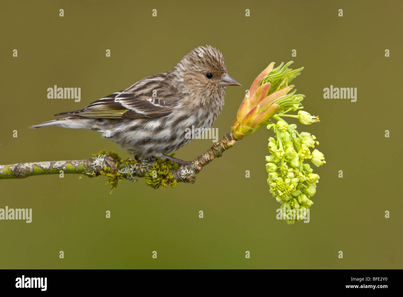 Pine siskin (Carduelis pinus) perched on a budding maple tree branch, Victoria, Vancouver Island, British Columbia, - Stock Image