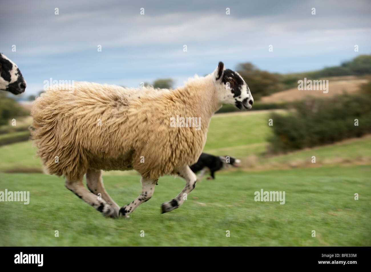 Mule gimmer lambs running with collie dog chasing it. - Stock Image