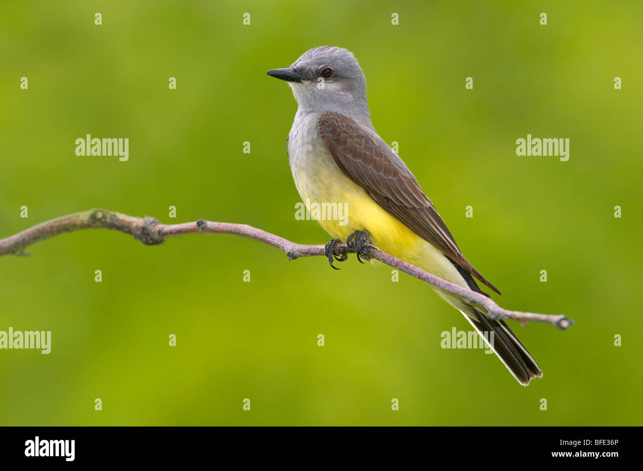 Western kingbird (Tyrannus verticalis) on perch at Potholes State Park, Washington, USA - Stock Image