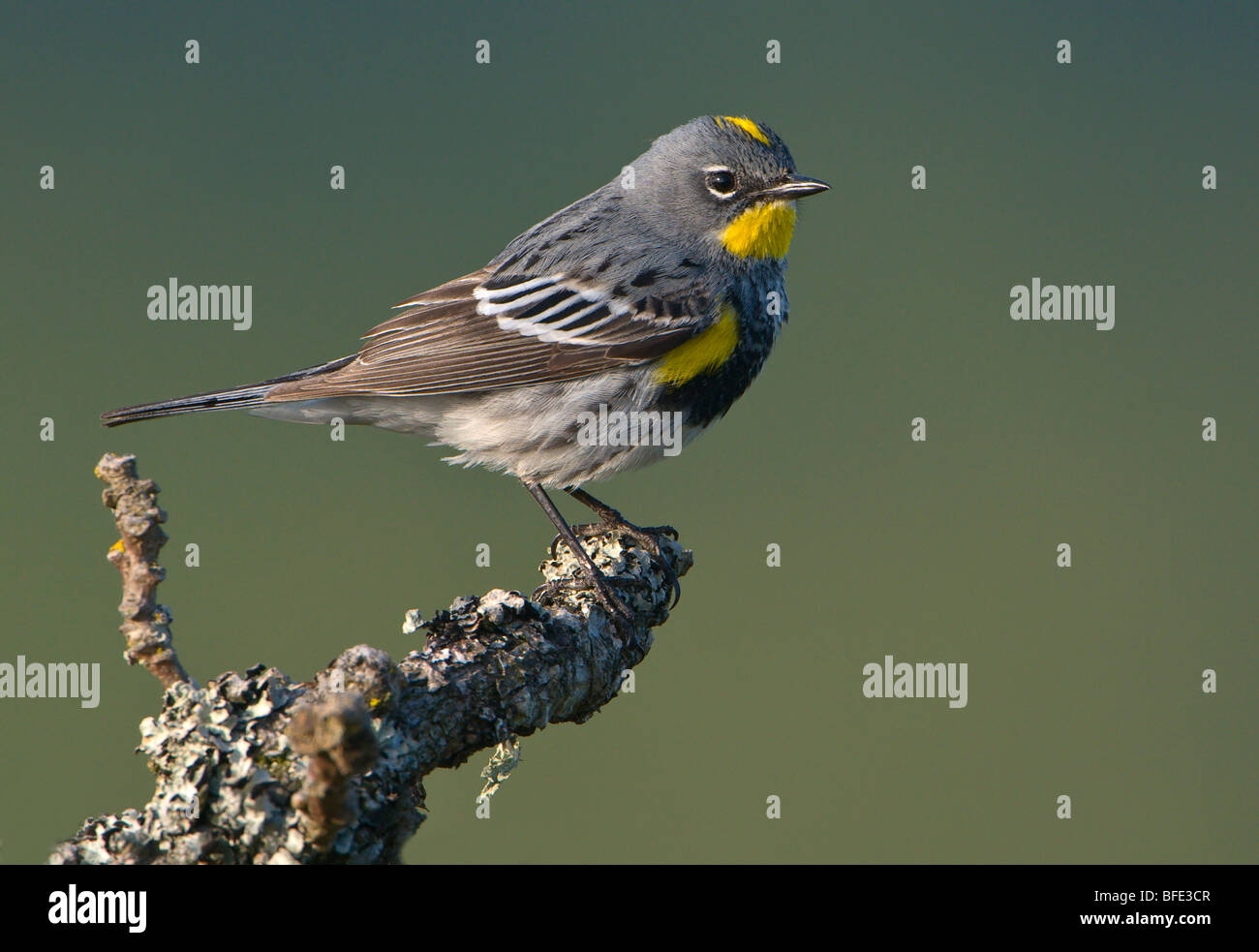Male Yellow-rumped warbler (Dendroica coronata) on Garry oak perch at Observatory Hill, Saanich, British Columbia, - Stock Image