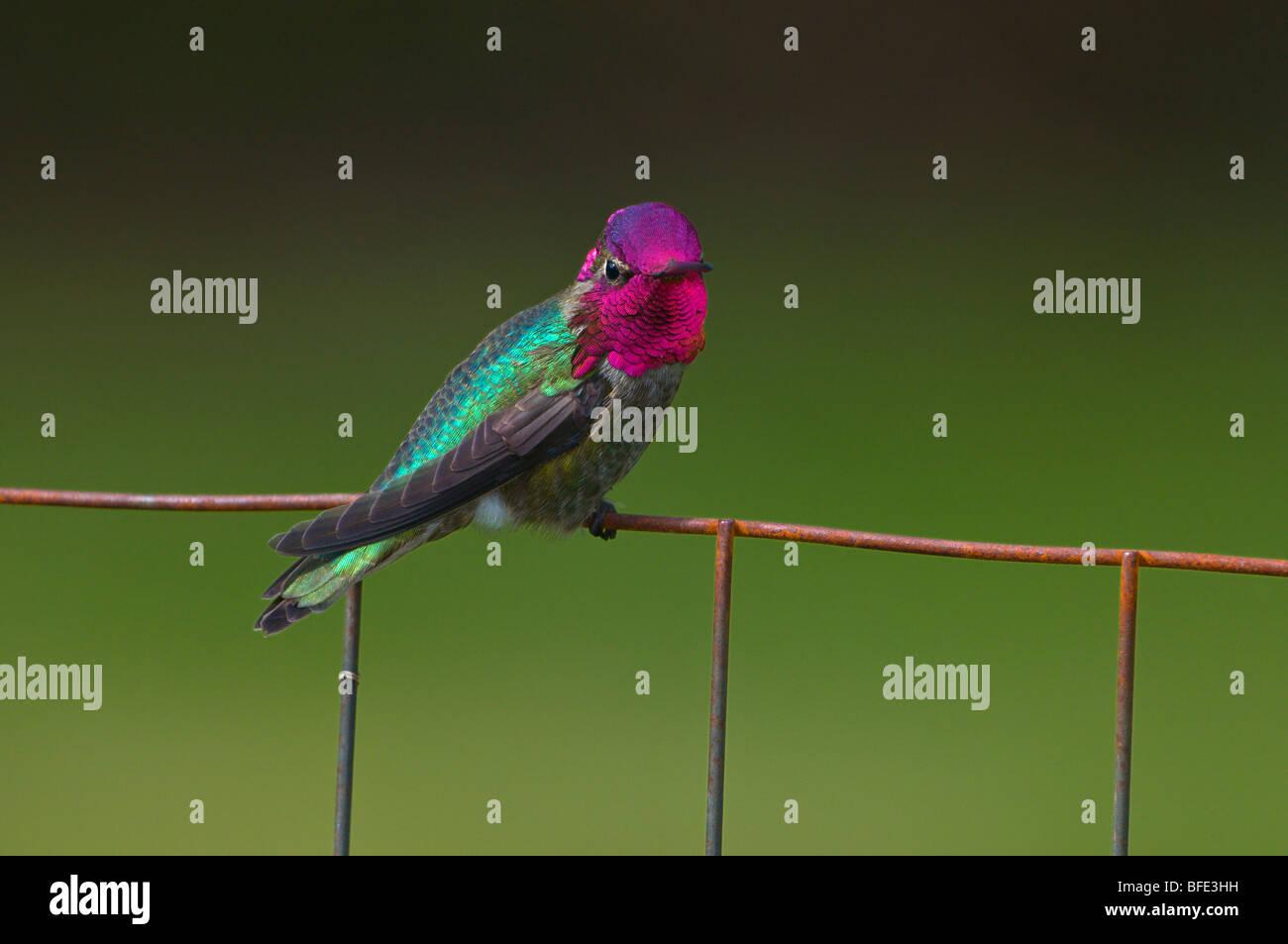 Male Anna's hummingbird (Calypte anna) on wire fence in Victoria, Vancouver Island, British Columbia, Canada - Stock Image