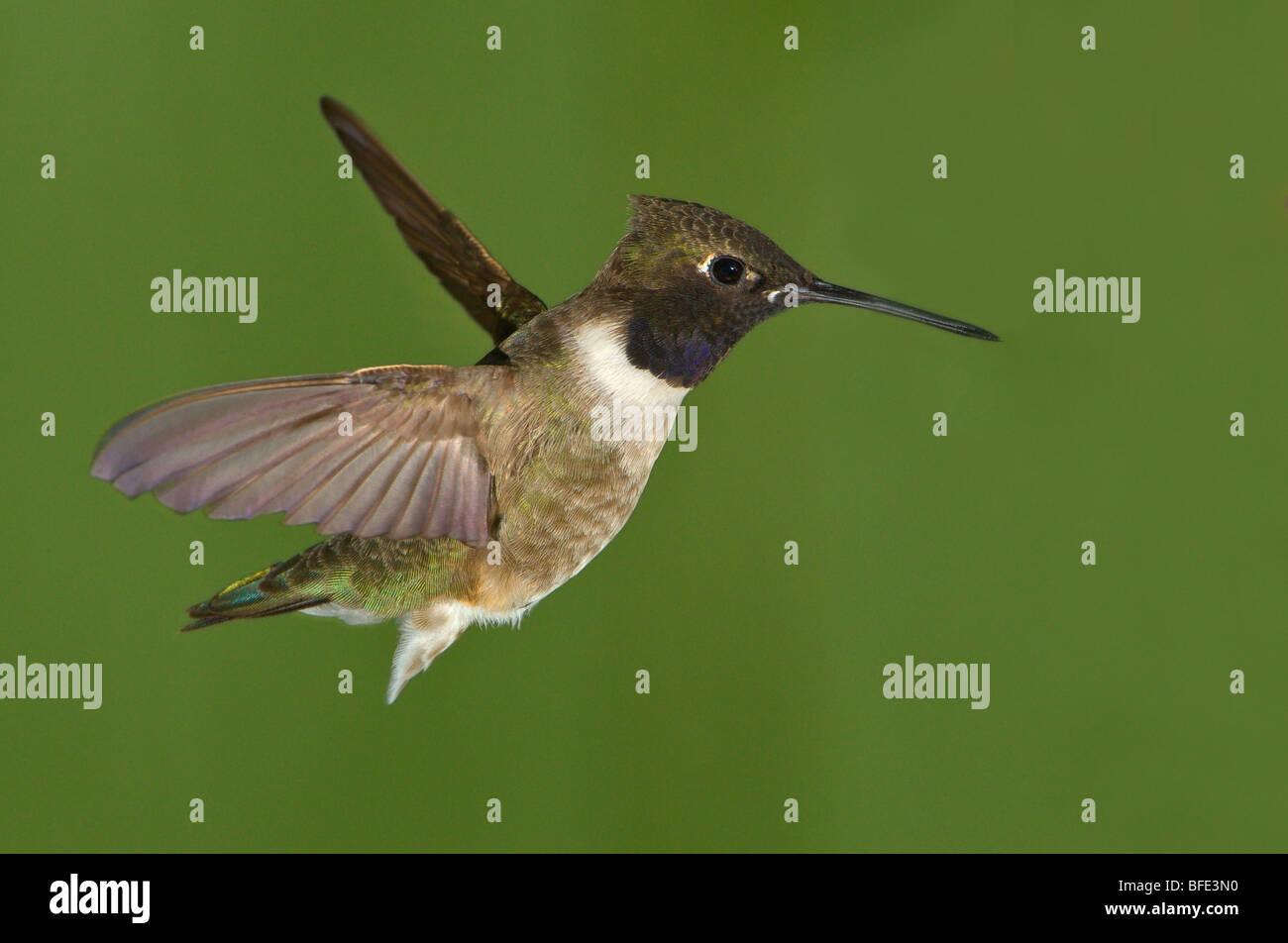 Male Black-chinned hummingbird (Archilochus alexandri) in flight at Fort Simcoe State Park, Washington, USA - Stock Image
