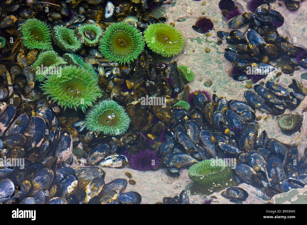 A tidal pool filled with sea anemones and mussels on the West Coast Trail on Vancouver Island, British Columbia, - Stock Image