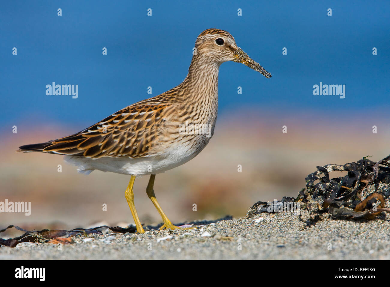 A Pectoral sandpiper (Calidris melanotos) feeds along the shoreline in Victoria, Vancouver Island, British Columbia, - Stock Image