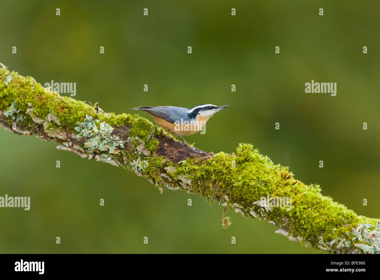 A Red-breasted nuthatch (Sitta canadensis) perches on a mossy branch in Victoria, Vancouver Island, British Columbia, - Stock Image