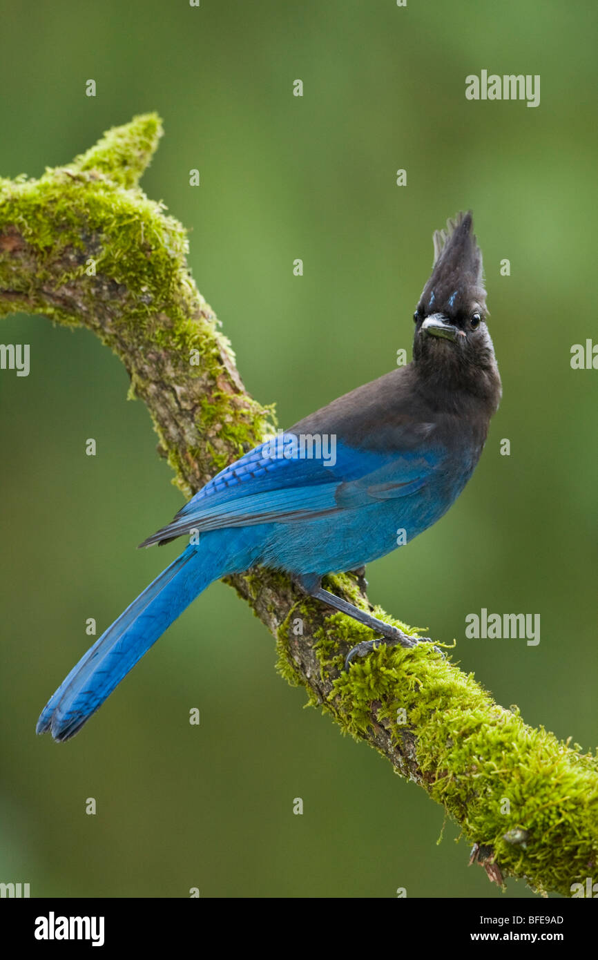 A Steller's Jay (Cyanocitta stelleri) perches on a mossy branch in Victoria, Vancouver Island, British Columbia, Stock Photo