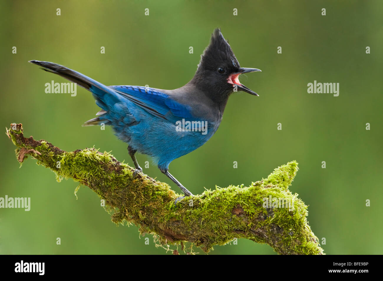 A Steller's Jay (Cyanocitta stelleri) perches on a mossy branch in Victoria, Vancouver Island, British Columbia, - Stock Image
