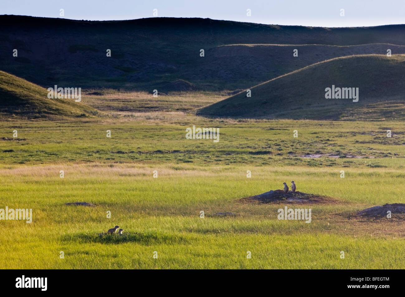 Black-tailed prairie dogs (Cynomys ludovicianus) in Dog Town along Frenchman River Valley Ecotour Route in West - Stock Image