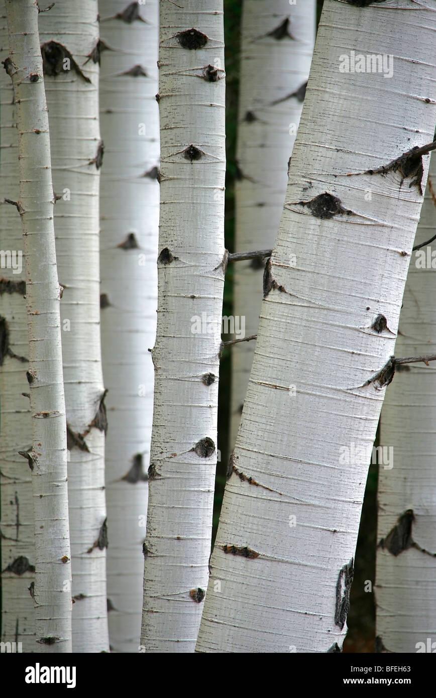 Close-up of tree trunks in aspen grove in Alberta, Canada - Stock Image