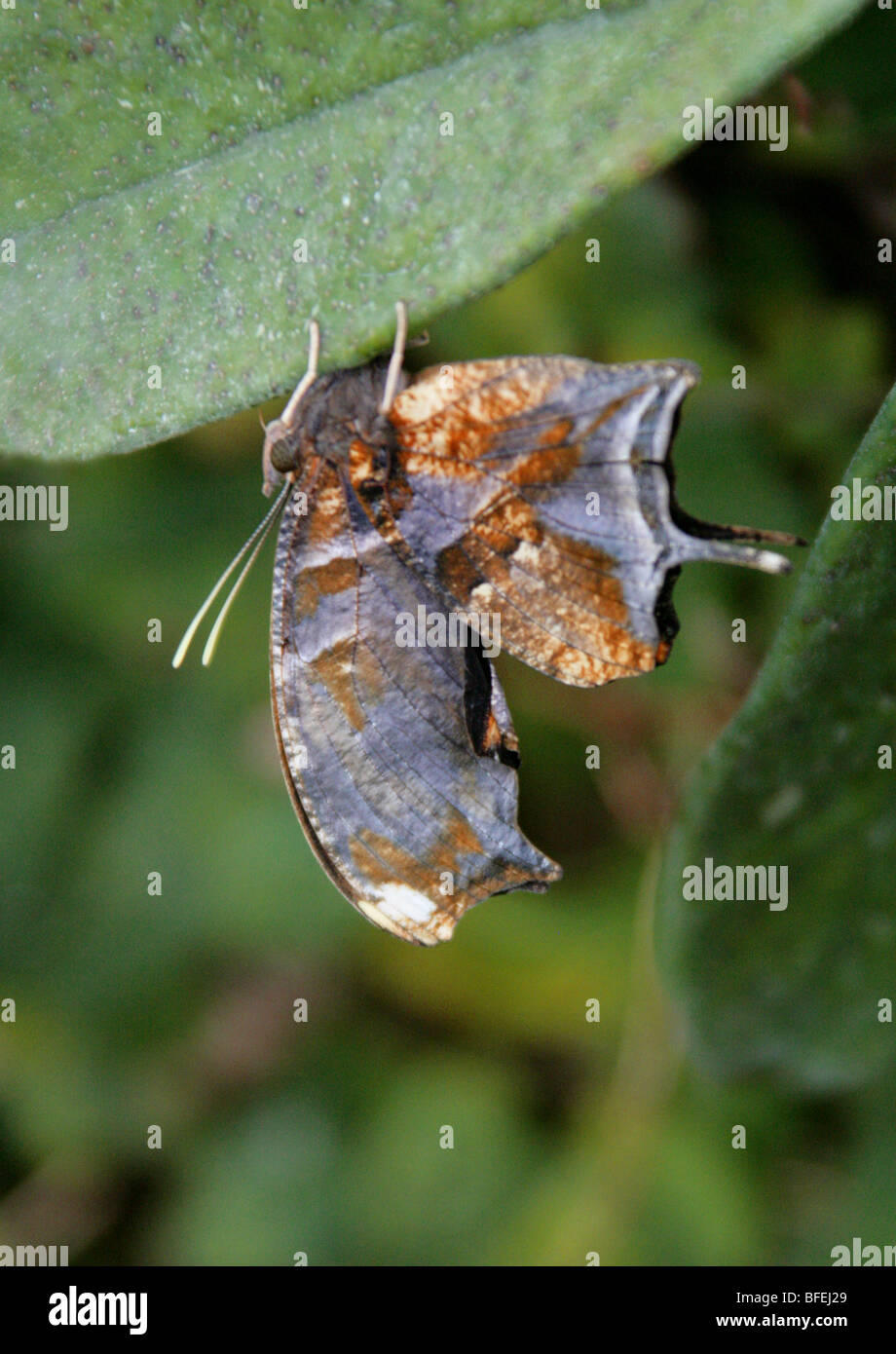 Underside of a Swallowtail Butterfly (sp. unknown). Dead Leaf Mimicry. - Stock Image