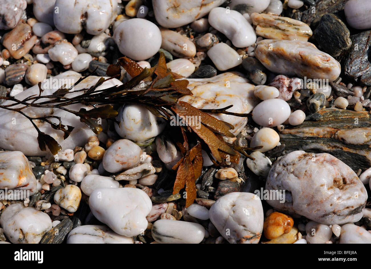 SEAWEED AND PEBBLES ON A BEACH - Stock Image