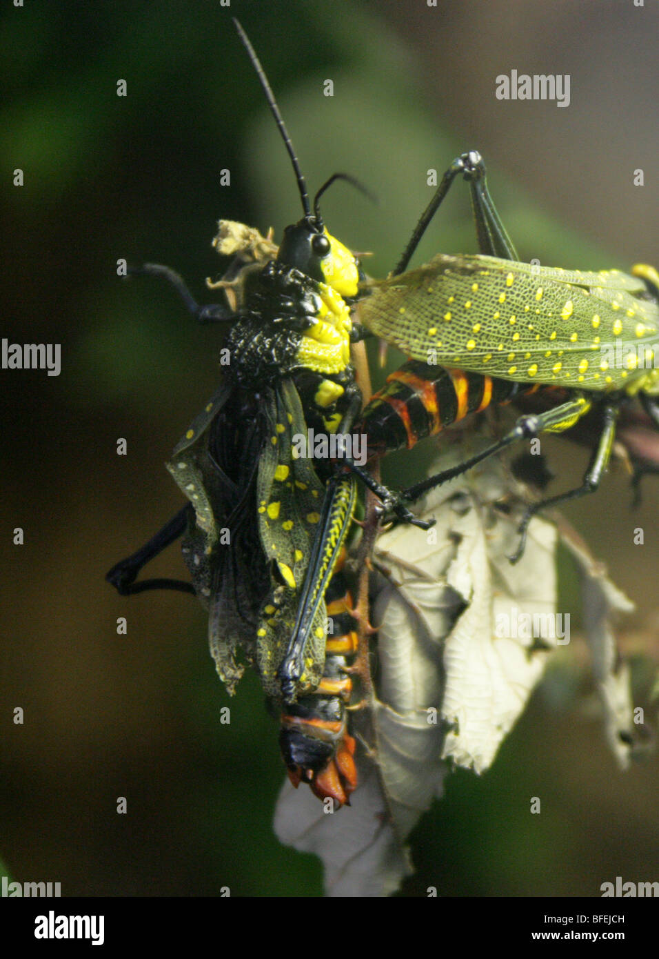 Northern Spotted Grasshopper, Aularches milliaris, Indonesia, Malaysia, Thailand, South East Asia - Stock Image