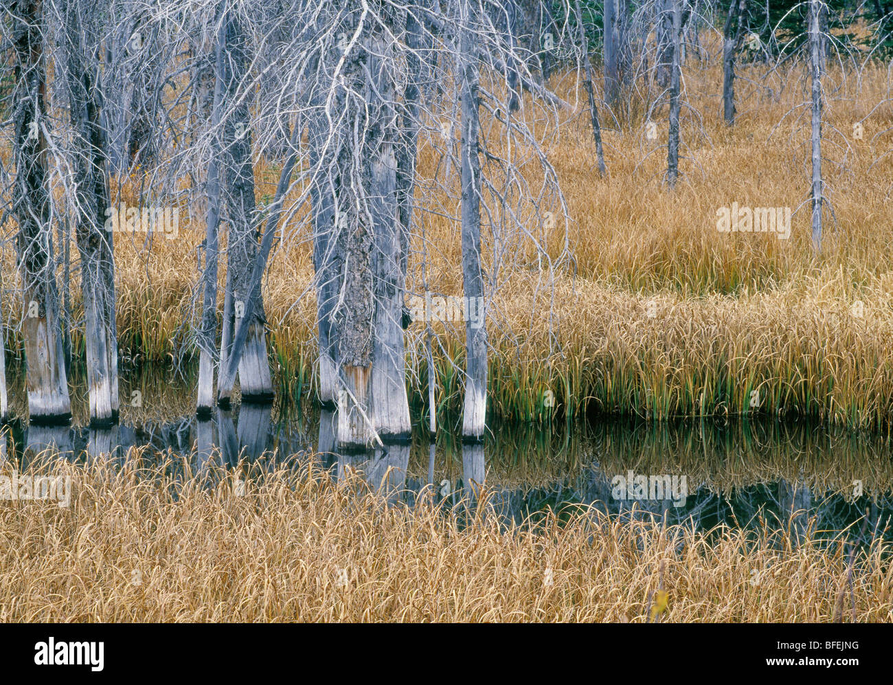 Dead spruce in pond, Peter Lougheed Provincial Park, Kananaskis Country, Alberta, Canada - Stock Image