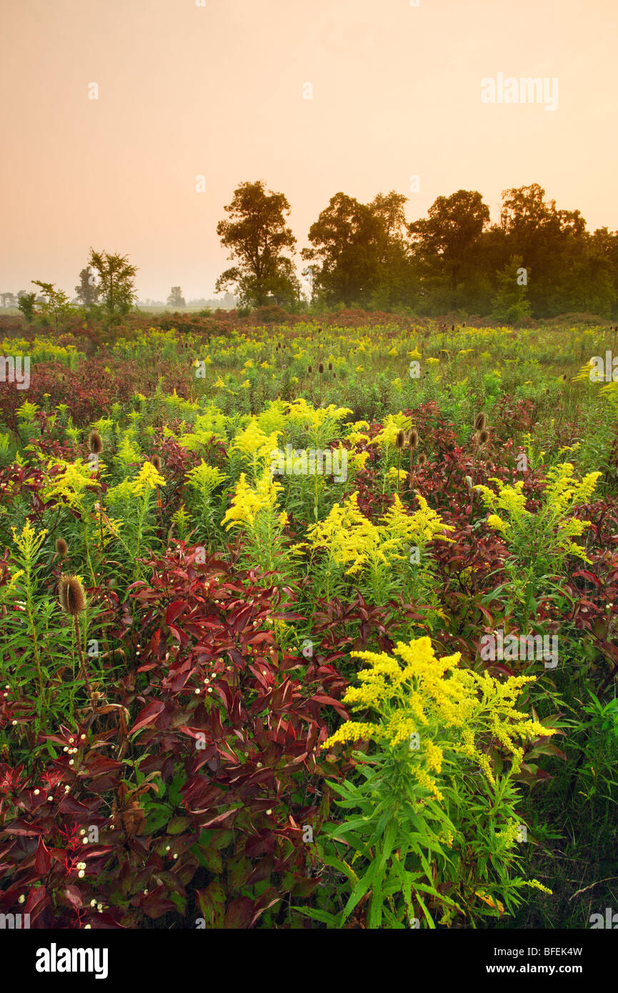 Field of wildflowers (Teasle and Goldenrod) near Canborough, Ontario, Canada - Stock Image
