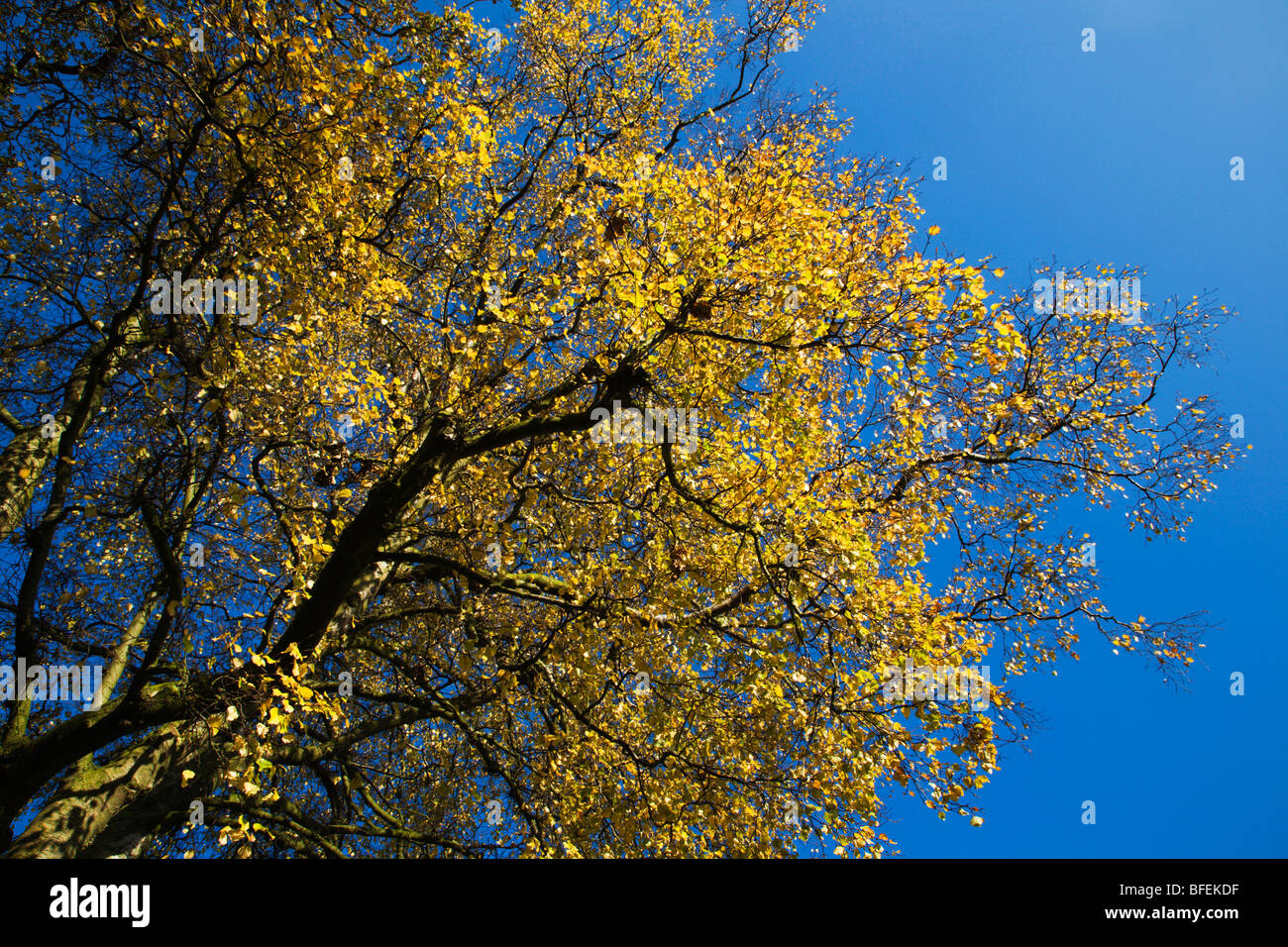 Yellow Autumn Leaves against a Blue Sky Blubberhouses Yorkshire England - Stock Image