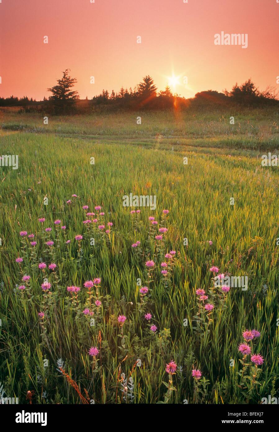 Sunset over field of Wild bergamot, Spruce Woods Provincial Park, Manitoba, Canada - Stock Image