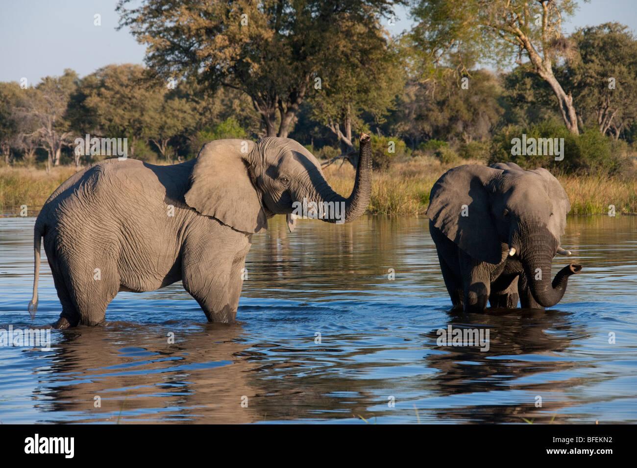 African Elephants (Loxodonta africana) in a waterhole in the Savuti region of Botswana - Stock Image