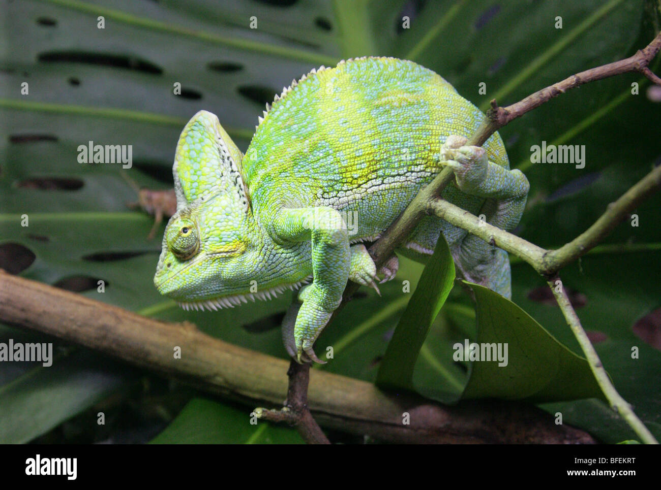 Yemen Veiled Chameleon aka Cone-headed Chameleon or Casqued Chameleon Chamaeleo calyptratus, Saudi Arabia and Yemen - Stock Image