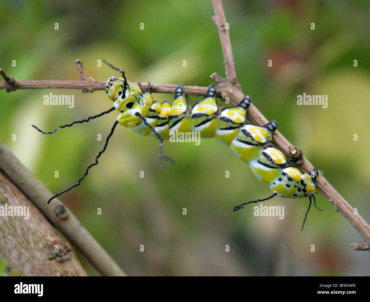 Caterpillar of the Brahmaea wallichii Moth. Brahmaeidae, Lepidoptera. North of India, Myanmar, China, Taiwan and - Stock Image