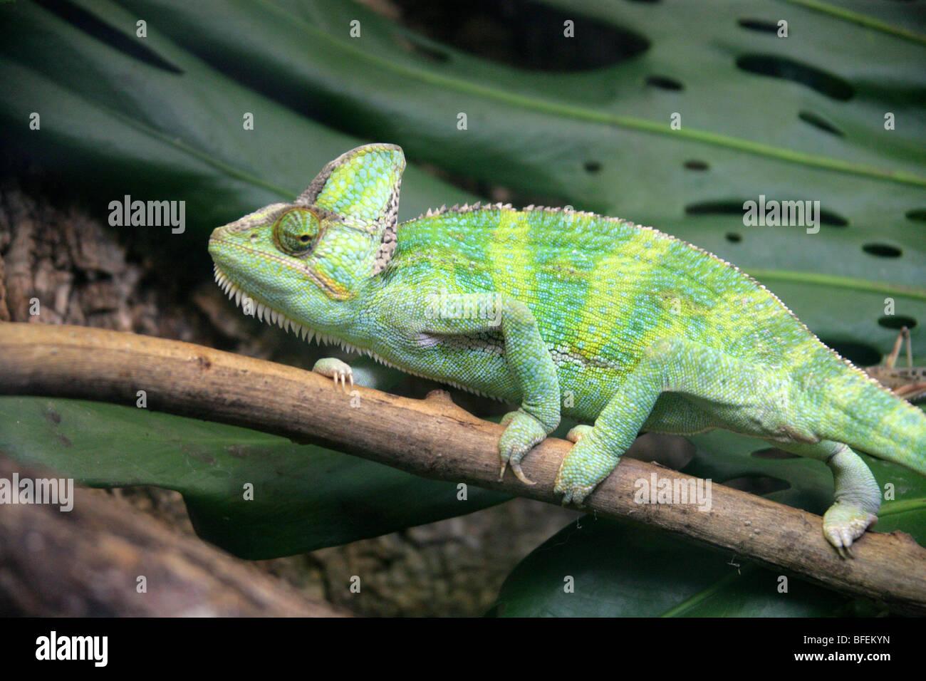 Yemen Veiled Chameleon aka Cone-headed Chameleon or Casqued Chameleon Chamaeleo calyptratus, Saudi Arabia and Yemen Stock Photo