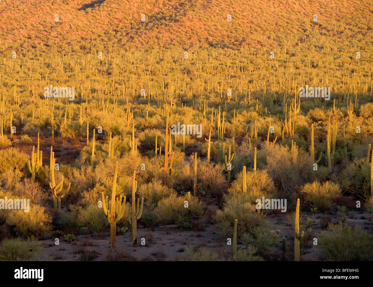 Thousands of saguaro cacti near Tucson, Arizona. - Stock Image
